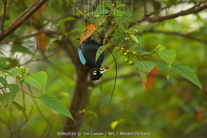 Blue Bird of Paradise (Paradisaea rudolphi) male upside-down, foraging in the vicinity of the Tari Valley, Southern Highlands Province, Papua New Guinea.