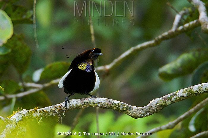 Bronze Parotia Bird of Paradise (Parotia berlepschi) male displaying on branch, Indonesia