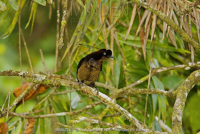 Young male Berlepschi's / Bronze Parotia Bird of Paradise (Parotia berlepschi). Foja Mountains, Papua, Indonesia, 2007.