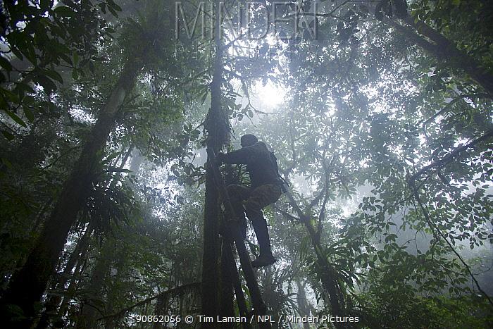 Photographer Tim Laman climbs ladder to check remote control camera looking down at Parotia bird of paradise court, Papua New Guinea, 2011