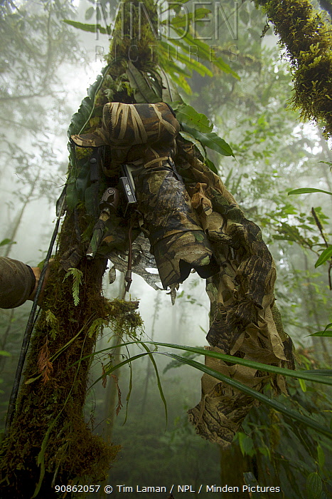 Camouflaged camera set up on tree trunk to look down at Parotia wahnesi court, Papua New Guinea, 2011