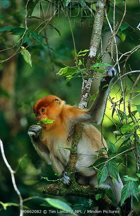 Proboscis monkey (Nasalis larvatus) juvenile feeding on a leaf in rainforest canopy, Kinabatangan Wildlife Sanctuary, Sabah, Malaysia, Borneo, Endangered