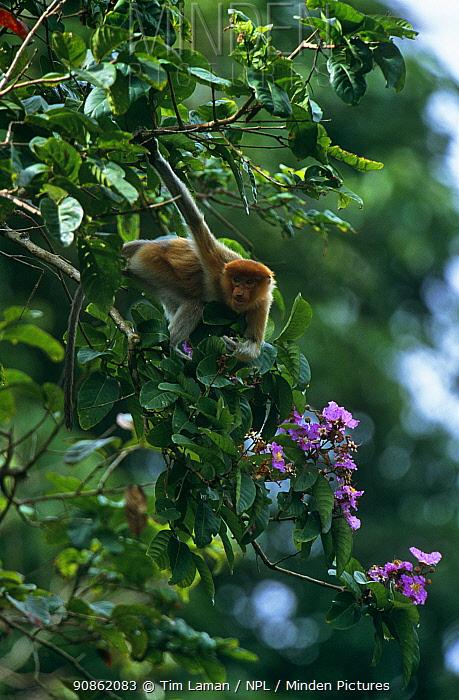 Proboscis monkey (Nasalis larvatus) juvenile reaching down to feed on flowers in rainforest canopy, Kinabatangan Wildlife Sanctuary, Sabah, Malaysia, Borneo, Endangered