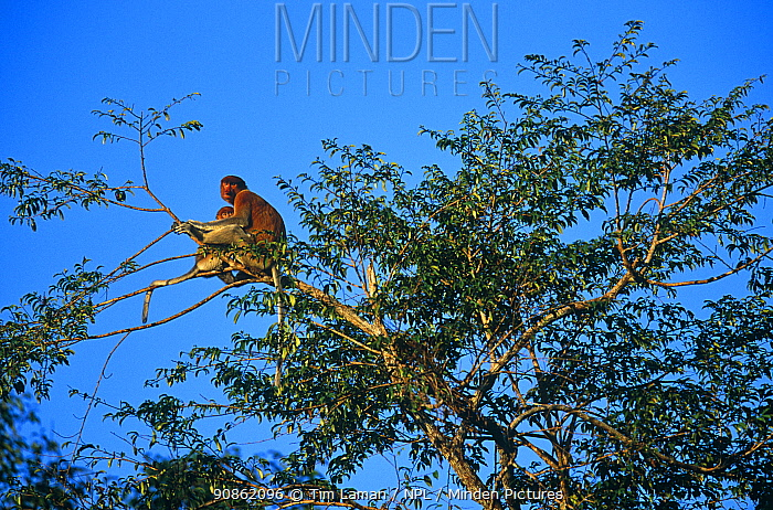Proboscis monkey (Nasalis larvatus) female and young settling down for the night at the top of a sleeping tree at sunset, Kinabatangan Wildlife Sanctuary, Sabah, Malaysia, Borneo Endangered
