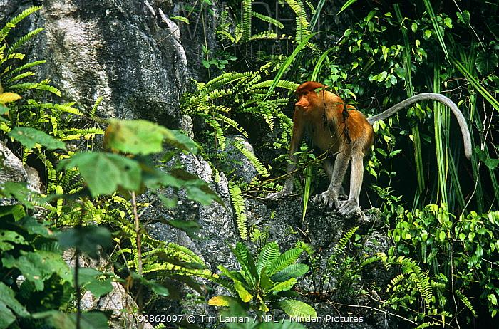 Proboscis monkey (Nasalis larvatus) female in rainforest habitat, Kinabatangan Wildlife Sanctuary, Sabah, Malaysia, Borneo, Endangered