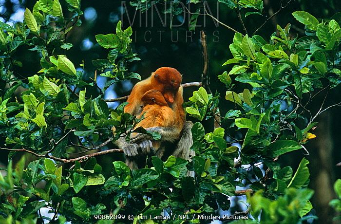 Proboscis Monkey (Nasalis larvatus) female cuddles her offspring in rainforest tree, Kinabatangan Wildlife Sanctuary, Sabah, Malaysia, Borneo, Endangered