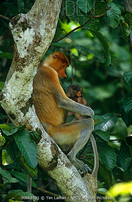 Proboscis monkey (Nasalis larvatus) female with young baby. (Newborn proboscis monkeys are dark in color for the first few months) resting in rainforest tree, Kinabatangan Wildlife Sanctuary, Sabah, Malaysia, Borneo, Endangered