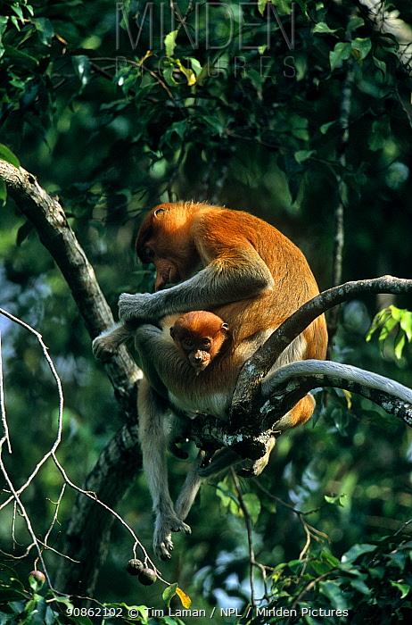 Proboscis monkey (Nasalis larvatus) juvenile sitting on a branch, Kinabatangan Wildlife Sanctuary, Sabah, Malaysia, Borneo, Endangered