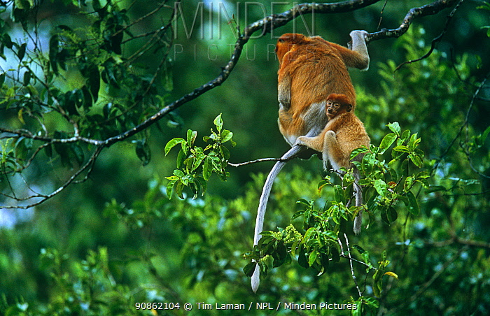 Proboscis monkey (Nasalis larvatus) female and her young settling down for the night in a tree they have chosen for sleeping in, Kinabatangan Wildlife Sanctuary, Sabah, Malaysia, Borneo, Endangered