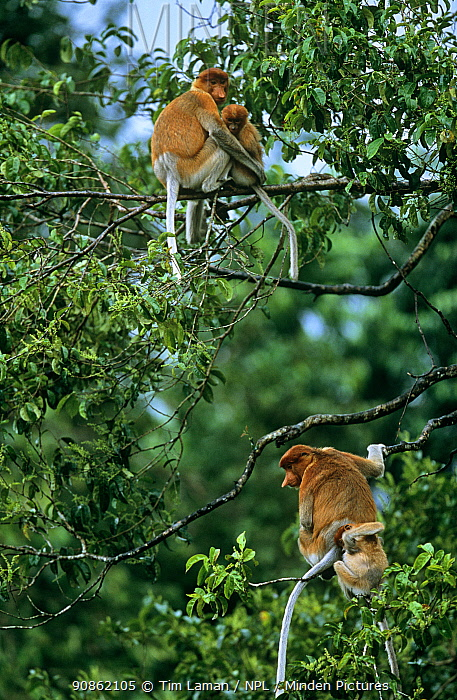 Proboscis Monkey (Nasalis larvatus) two females and their offspring settle down for the night in a tree they have chosen for sleeping in, Kinabatangan Wildlife Sanctuary, Sabah, Malaysia, Borneo, Endangered