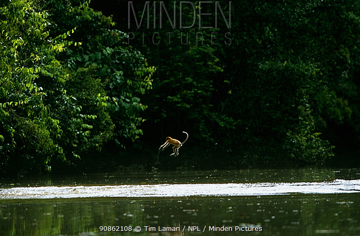 Proboscis monkey (Nasalis larvatus) attempting to leap across the river, falls short and is about to land in the water. Kinabatangan Wildlife Sanctuary, Sabah, Malaysia, Borneo, Endangered