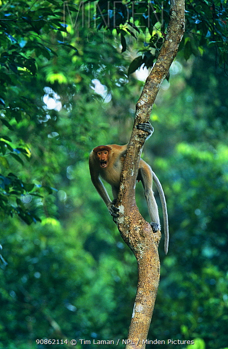 Proboscis Monkey (Nasalis larvatus) male looking across from tree, vocalising, Kinabatangan Wildlife Sanctuary, Sabah, Malaysia, Borneo, Endangered