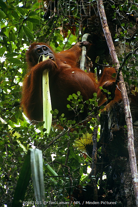 Orang utan {Ponga pygmaeus} looking down from feeding in tree, Gunung Palung NP, Borneo, Indonesia, Endangered. Wild