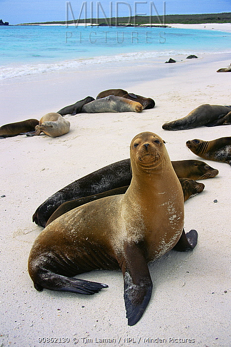 Galapagos Sea Lion (Zolophus wollebaecki) aka (Zolophus californianus ssp. wallebaecki) Espanola (Hood) Island, Galapagos Islands, June