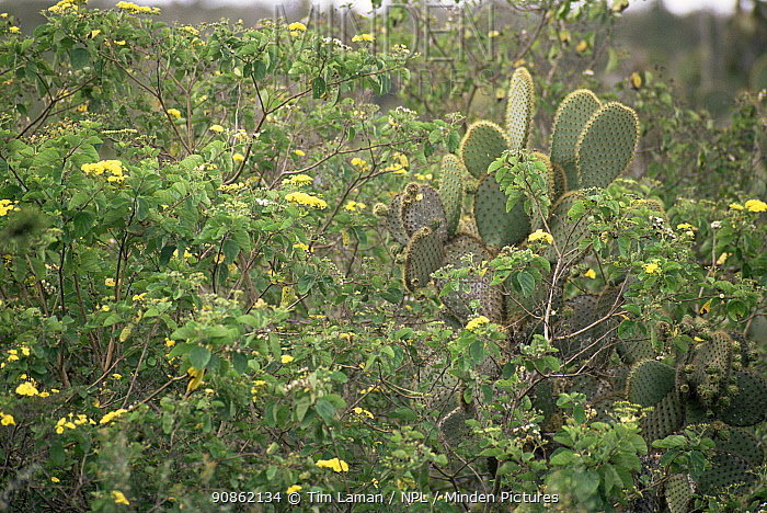 Giant Prickly Pear Cactus (Opuntia sp.) and other vegetation on Santa Cruz Island. June 1993.