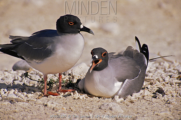 Swallow-tailed gull (Larus / Creagrus furcatus) pair at nest. Santa Cruz Island, Galapagos, June