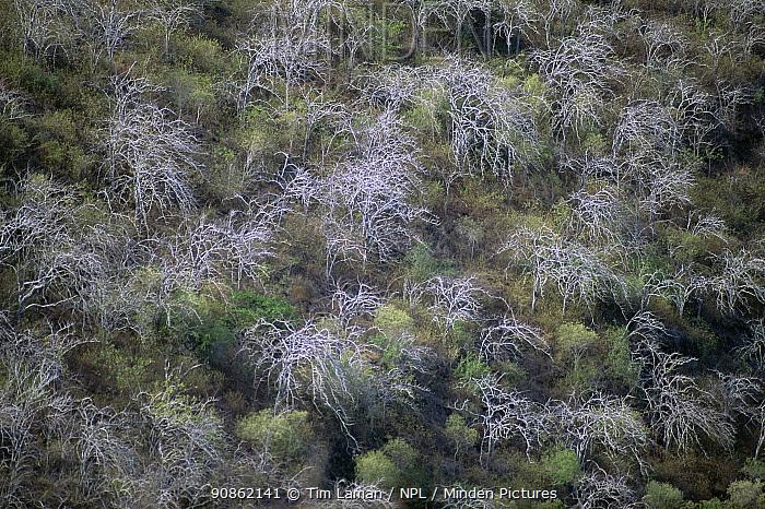 Aerial view of Palo Santo trees (Bursera graveolans) on Isabala Island, Galapagos. June 1993.