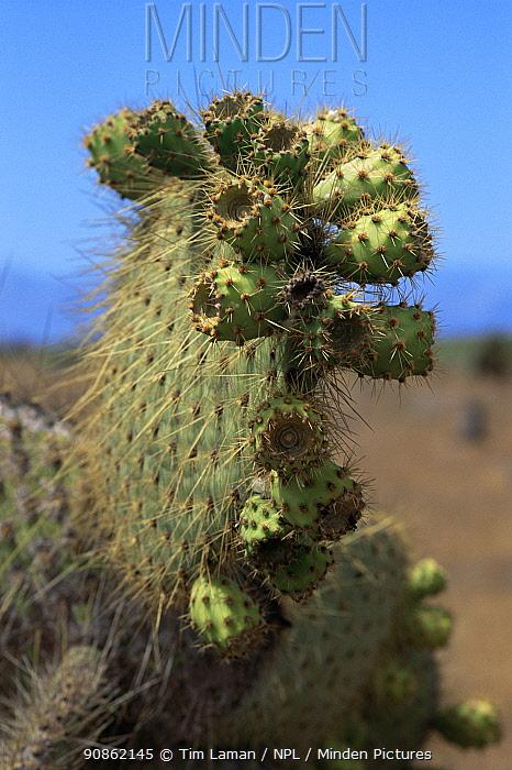 Giant cholla cactus {Opuntia sp} Galapagos