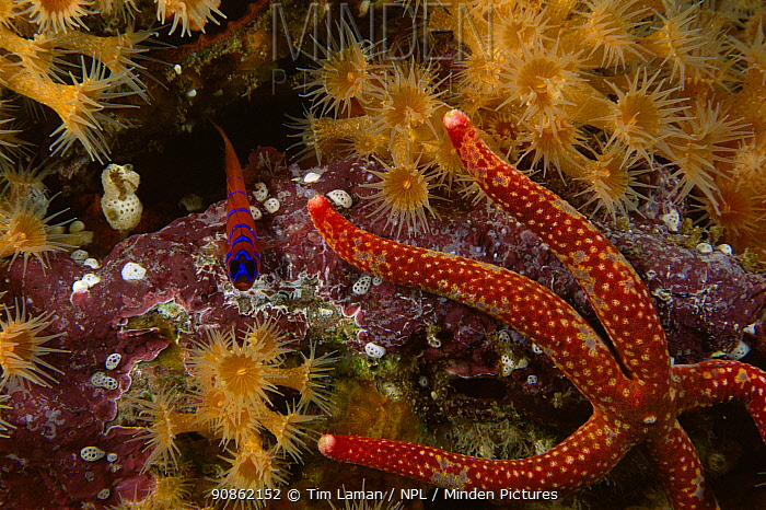 Blue-banded Goby (Lythrypnus dalli) rests on coralline algae near a Sea star and coral and anemone polyps. Channel Islands, pacific, California, USA