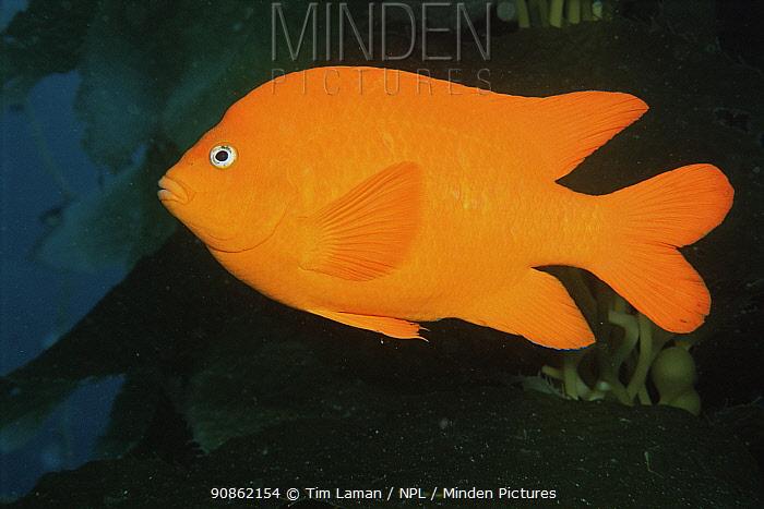 Garibaldi fish (Hypsypops rubicundus) Catalina Island, Pacific, California, USA