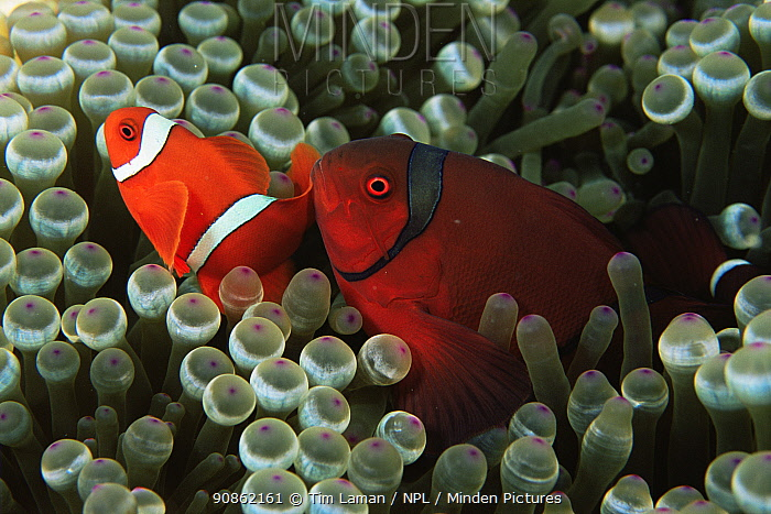 Spinecheek anemonefish (Premnas biaculeatus) small male and large female amongst anemone tentacles, Wakatobi Islands, Sulawesi, Indonesia.