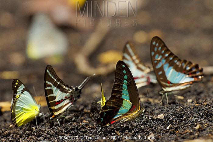 Butterflies puddling, including Graphium sarpedon, Delias sp, and Graphium aristeus Vogelkop Peninsula, West Papua.