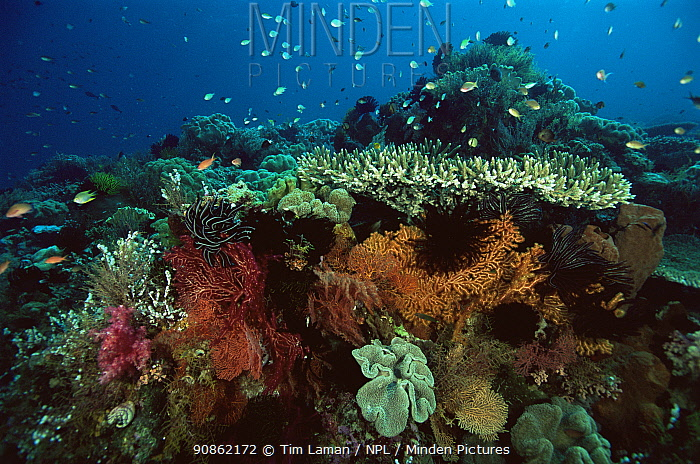 View of coral reef with crinoids, sea fans and table corals. Wakatobi Islands, Sulawesi, Indonesia. June 2004.