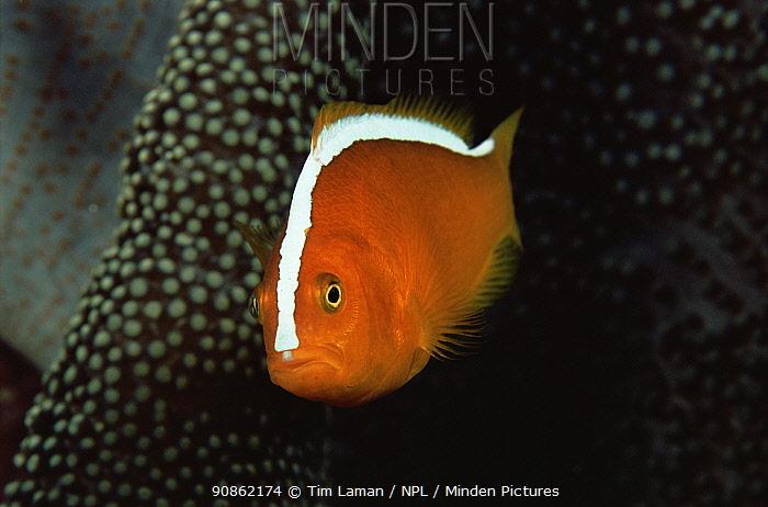 Orange anemonefish (Amphiprion sandaracinos) Wakatobi Islands, Sulawesi, Indonesia.