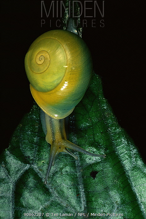 A snail in Sierra Madre National Park, Luzon, Philippines