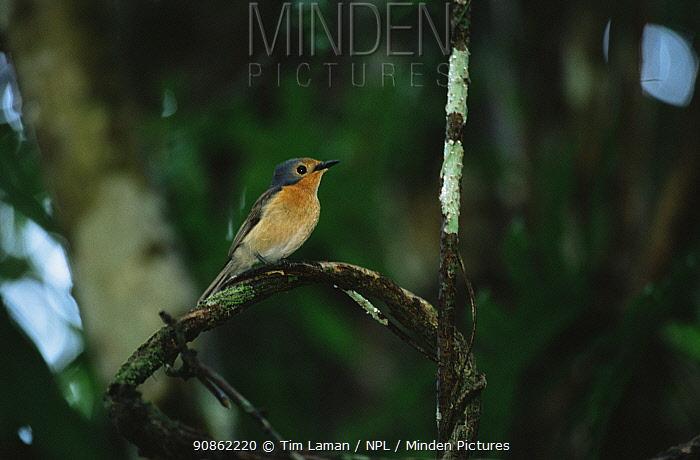 The Mangrove flycatcher (Myiagra erythrops) endemic, Koror, Republic of Palau. December