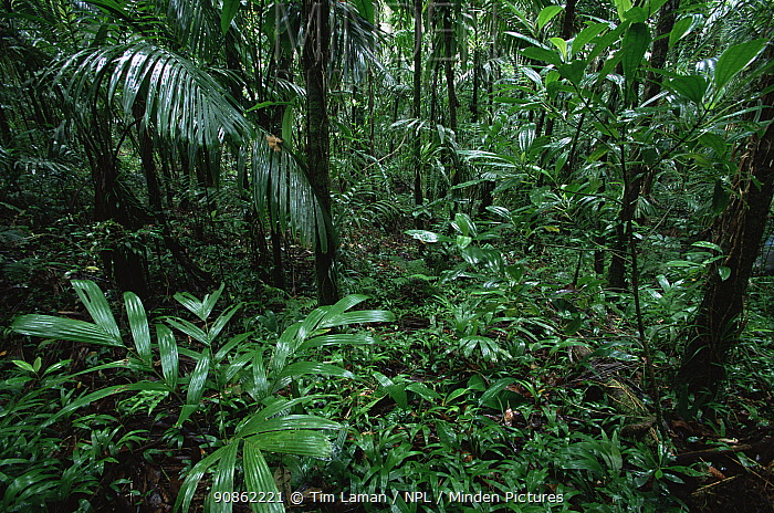 Endemic palms in the Babeldaob forest, Babeldaob Island, Republic of Palau. December 2001.