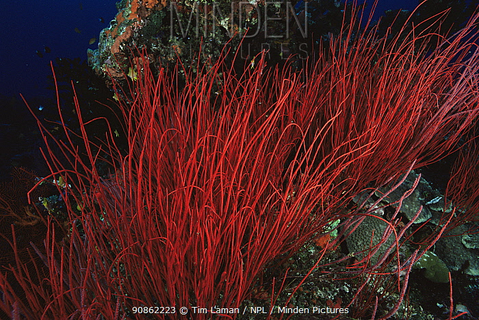 Red whip coral on reef, Pacific islands