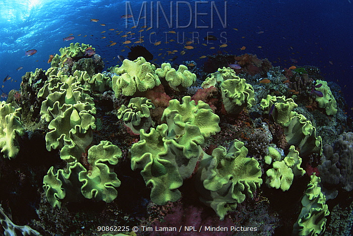 Leather corals and school of Lyre-tailed Anthias (Pseudanthias squamipinnis) on coral reef in Fiji, Pacific.