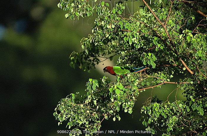 Red Shining-Parrot (Prosopeia tabuensis) in rainforest, Taveuni Island, Fiji. Endemic to Tonga and Fiji.