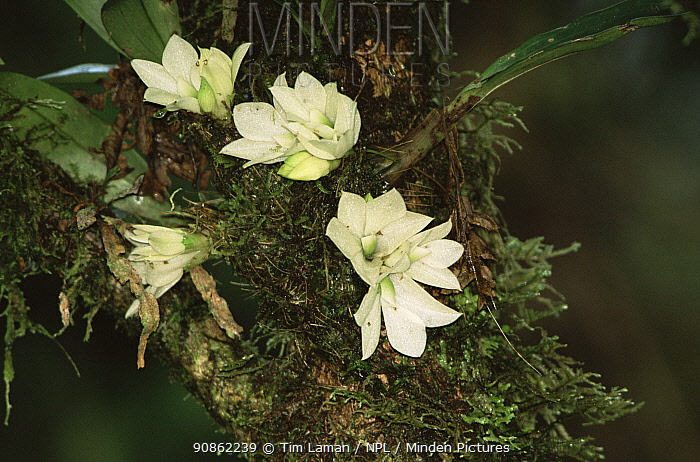 Epiphytic Orchid (Dendrobium prasinum) endemic, flowering in rainforest, Taveuni Island, Fiji.