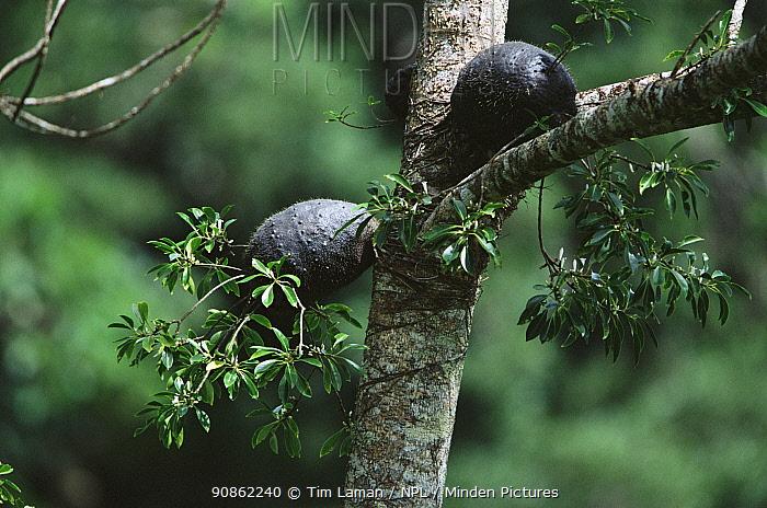 Epiphytic ant plants (Myrmecodia sp.) growing on tree in rainforest, Taveuni Island, Fiji.