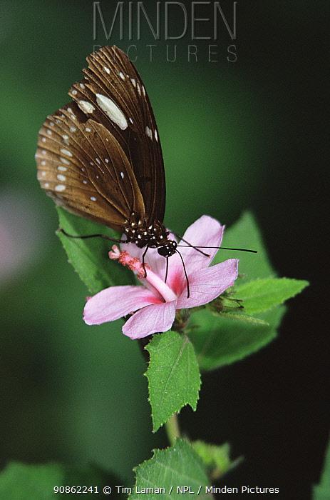Butterfly feeding on rainforest flower, Fiji