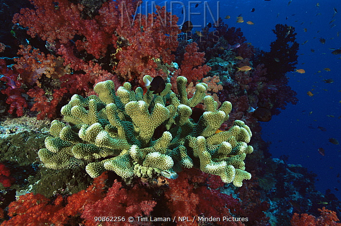 Coral reef view with (Acropora sp) hard coral and soft corals. Somosomo Strait, Rainbow Reef, Fiji