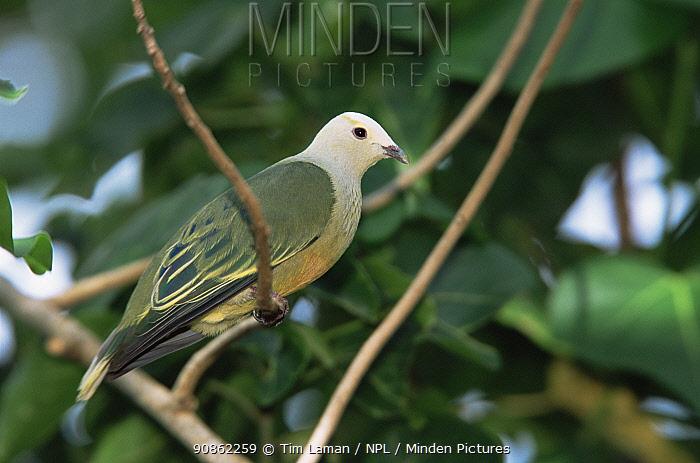 White-capped Fruit Dove (Ptilinopus dupetithouarsii) Ua Huka Island, Marquesas Islands, French Polynesia. Endemic to Marquesas Islands.