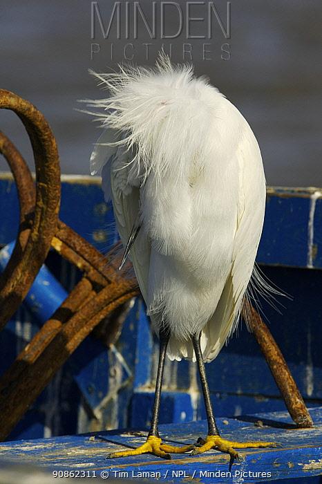 Snowy Egret (Egretta thula) resting on an old fishing boat, Barrancones Bay, Waterloo, Trinidad.