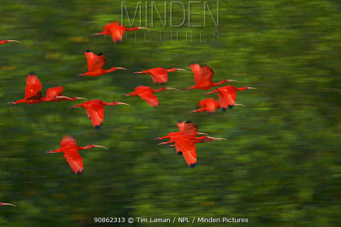 Scarlet Ibis (Eudocimus ruber) in flight to their roosting sites on small mangrove islands in the Caroni Swamp mangrove forest, Caroni Bird Sanctuary, Trinidad.