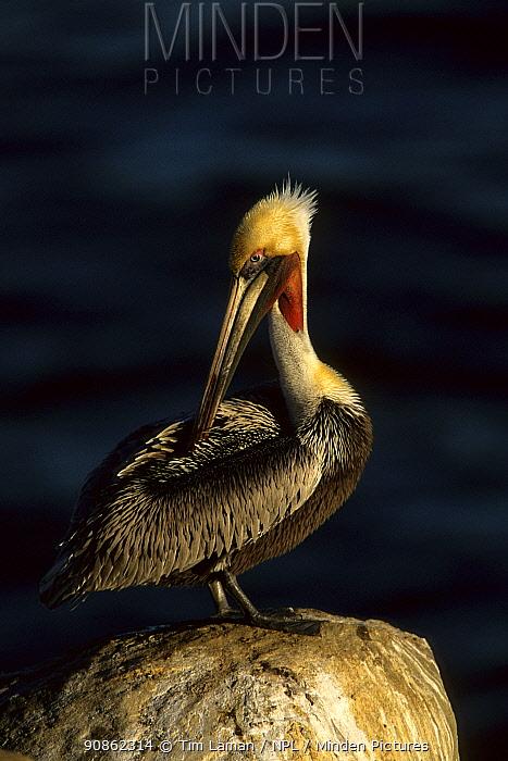 Brown pelican (Pelecanus occidentalis) standing on a rock preening. La Jolla, California.