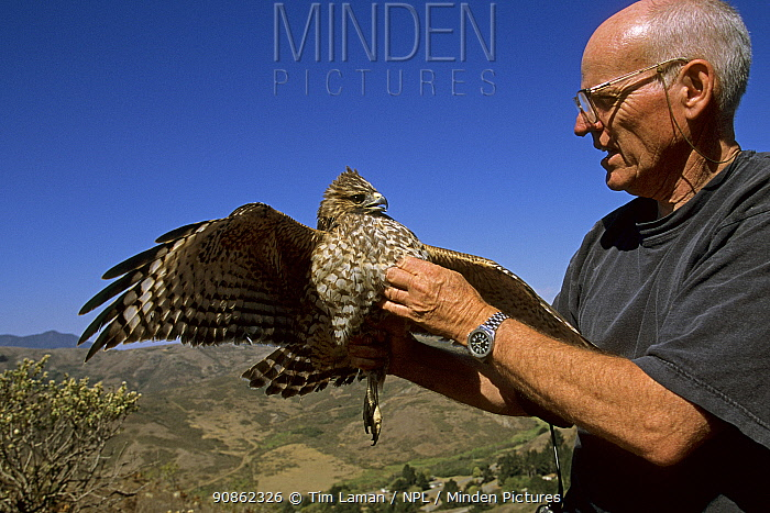 Buzz Hall with a Red-shouldered hawk (Buteo lineatus) Marin Headlands, California. Oct 2002.
