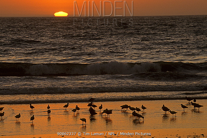 Marbled godwits (Limosa fedoa) and Willets (Catoptrophorus semipalmatus) feeding on the beach at Moss Landing at sunset, California.