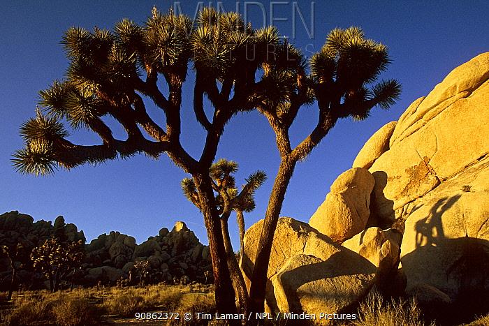 Joshua tree (Yucca brevifolia) and rocks at sunset. Joshua Tree National Park, California. Mar 2004.