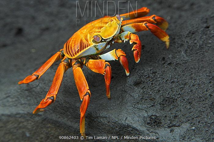 Sally lightfoot crab (Grapsus grapsus) in Espanola (Hood) Island, Galapagos Islands.