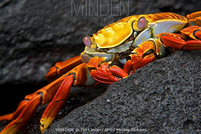 Close-up of Sally lightfoot crab (Grapsus grapsus). Espanola (Hood) Island, Galapagos Islands.