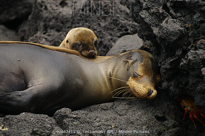 Sleeping Galapagos sea lion (Zalophus californianus wollebaeki) and cub, moulting. Champion Islet off Floreana (Charles) Island, Galapagos Islands.
