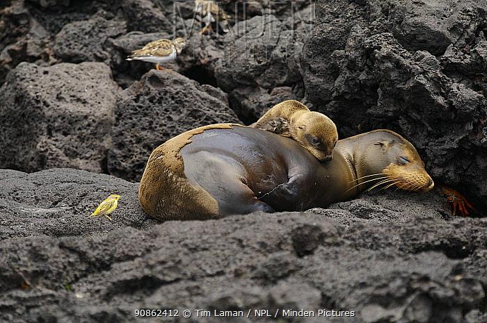 Sleeping Galapagos sea lion (Zalophus californianus wollebaeki) and cub, moulting, and a Galapagos yellow warbler (Dendroica petechia aureola). Champion Islet off Floreana (Charles) Island, Galapagos Islands.