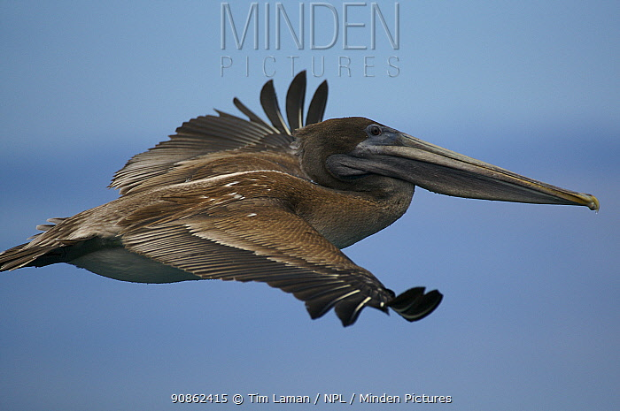 Brown pelican (Pelecanus occidentalis) subadult flying. Champion Islet off Floreana (Charles) Island, Galapagos Islands.